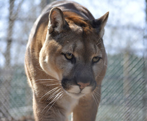 SPONSOR NICHOLAS THE COUGAR FOR A DAY OR WEEK