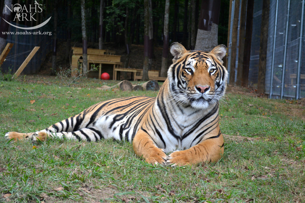 SPONSOR DOC THE TIGER FOR A DAY OR WEEK