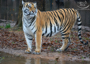 SPONSOR GABBY THE TIGER FOR A DAY OR WEEK