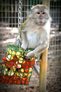 SPONSOR JAVA GONGA THE MACAQUE FOR DAY OR WEEK