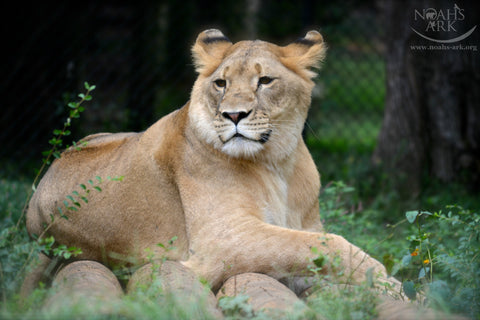 SPONSOR LIBERTY THE LION FOR A DAY OR WEEK