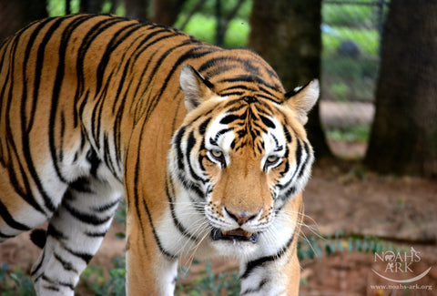 SPONSOR MR. SMITH THE TIGER FOR A DAY OR WEEK