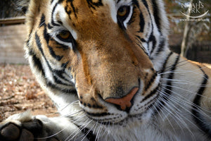 SPONSOR GOLDEN THE TIGER FOR A DAY OR WEEK