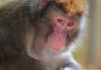 SPONSOR KEOKA THE JAPANESE MACAQUE FOR DAY OR WEEK
