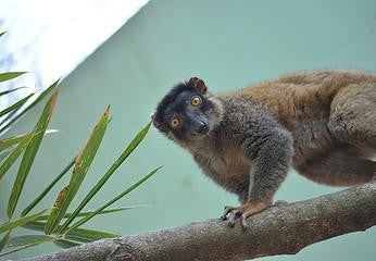 SPONSOR MILES THE LEMUR FOR A DAY OR WEEK