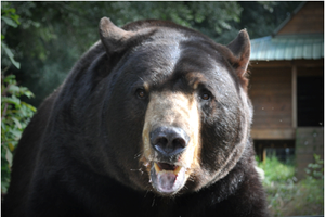 SPONSOR BALOO THE AMERICAN BLACK BEAR FOR A DAY OR WEEK
