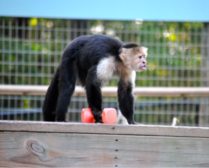 SPONSOR CALVIN THE CAPUCHIN FOR DAY OR WEEK