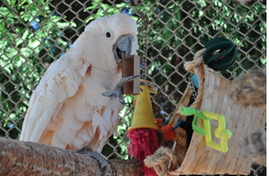 SPONSOR ANGEL THE COCKATOO FOR A DAY OR WEEK