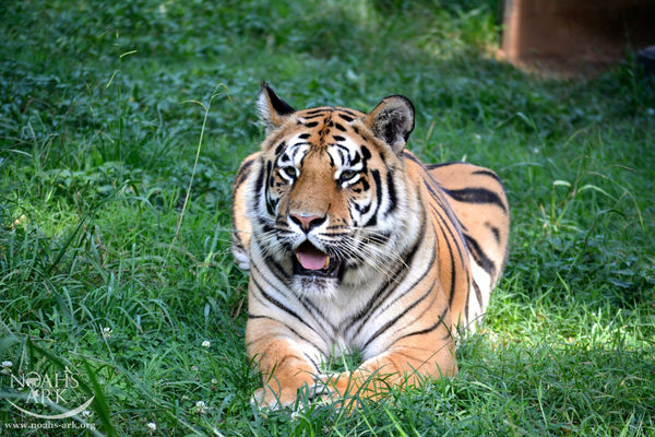 SPONSOR SHELIA THE TIGER FOR A DAY OR WEEK