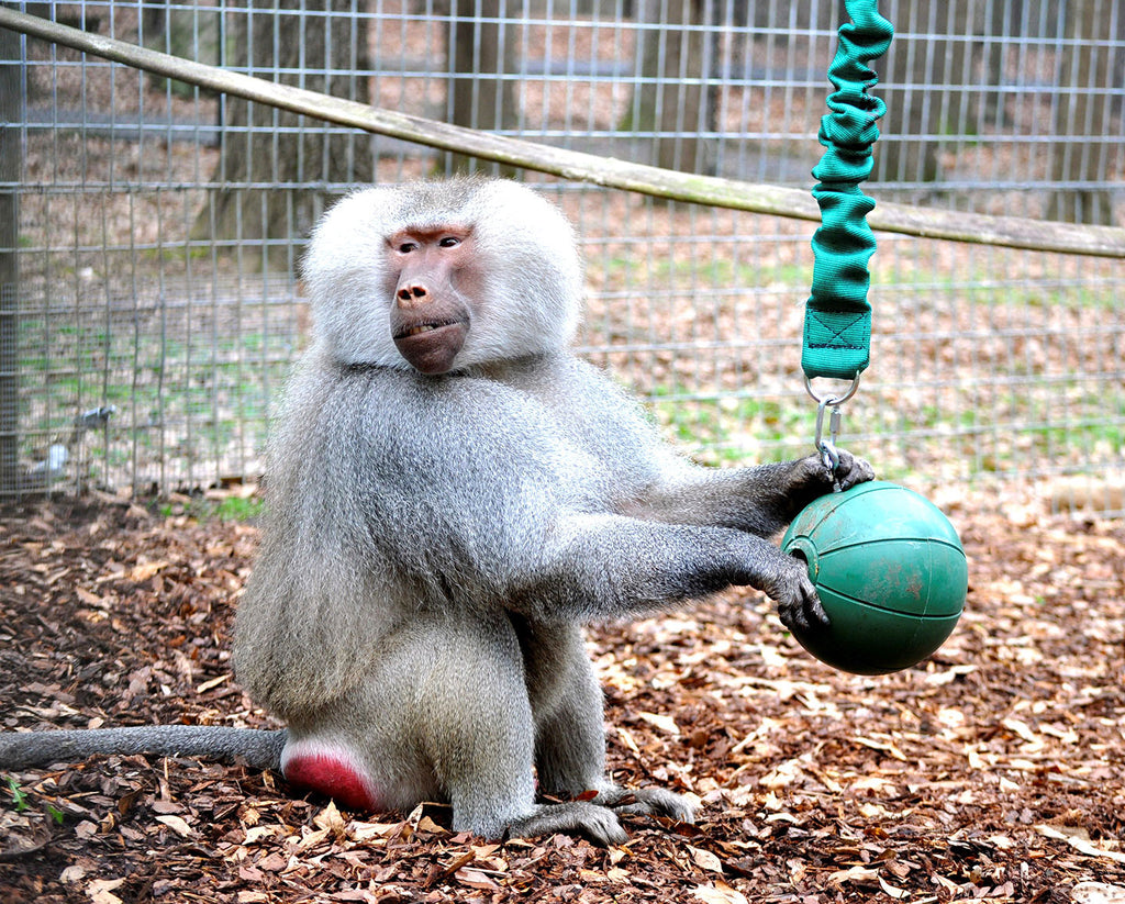 BUY A BUNGEE BALL FOR OUR PRIMATES