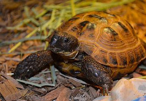 SPONSOR DENNIS THE TORTOISE FOR A DAY OR WEEK