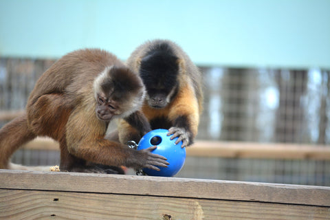 BUY A FORAGING BALL FOR OUR PRIMATES