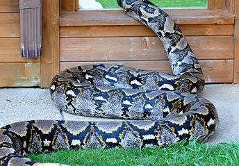SPONSOR GRANDMA THE PYTHON FOR A DAY OR WEEK