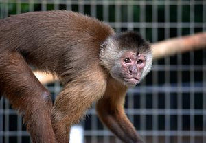 SPONSOR LUCAS THE CAPUCHIN FOR DAY OR WEEK