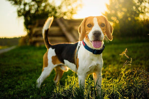CBD for Dogs - Everything You Wanted To Know