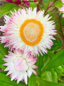 White/Light Pink Strawflower