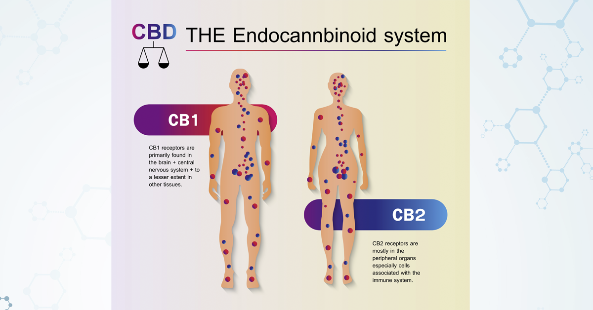 This image is an illustrative graphic of the human endocannabinoid system with text describing the benefits of the endocannabinoid system.