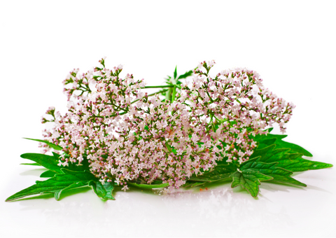 Valerian flowers against a pure white background.