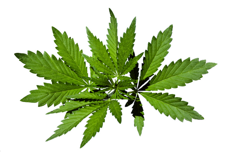 Hemp leaves in a swirl against a pure white background.