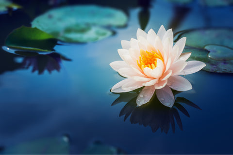 A single pink flower floating on a still pond next to water lilies.