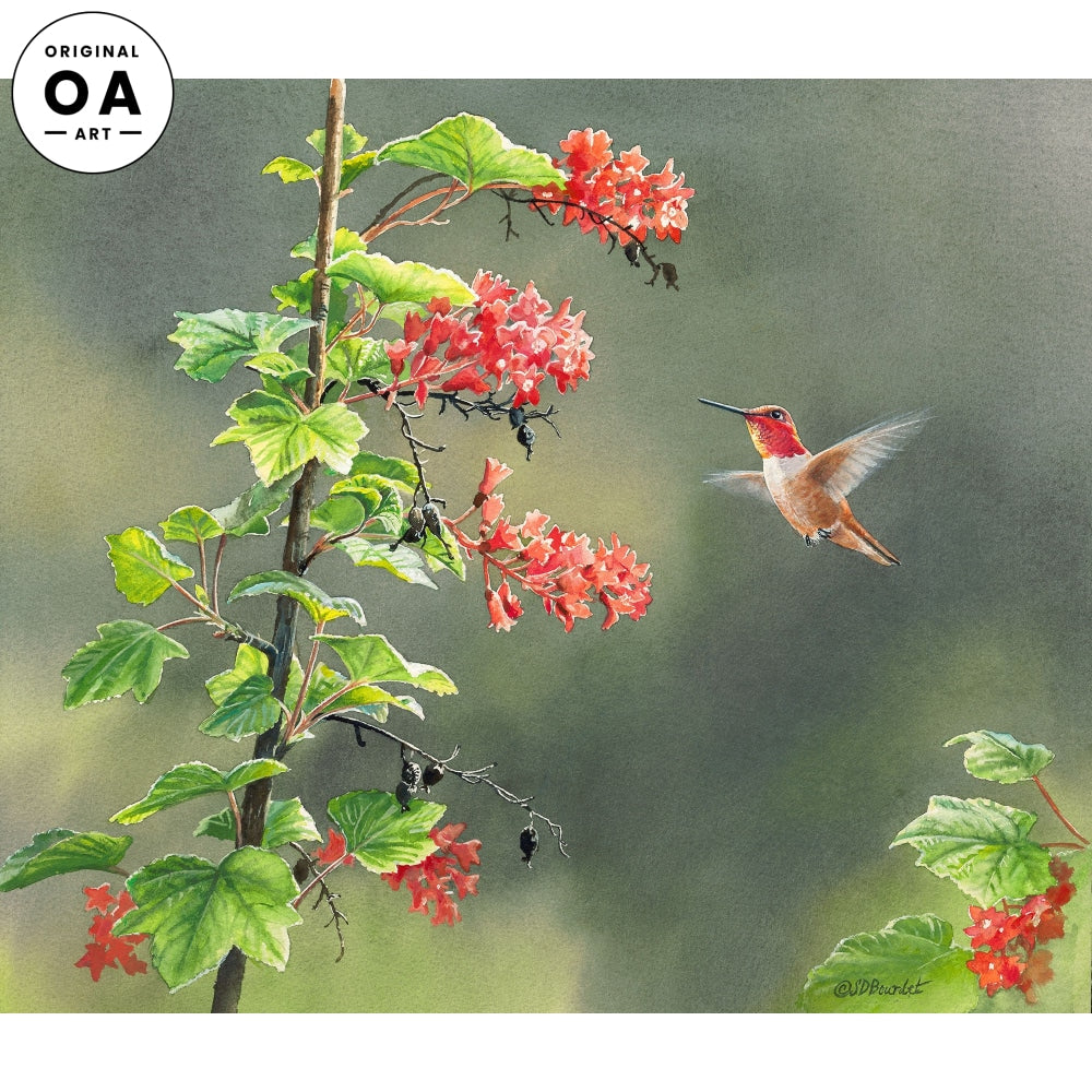 Rufous in Red Currant—Hummingbird.
