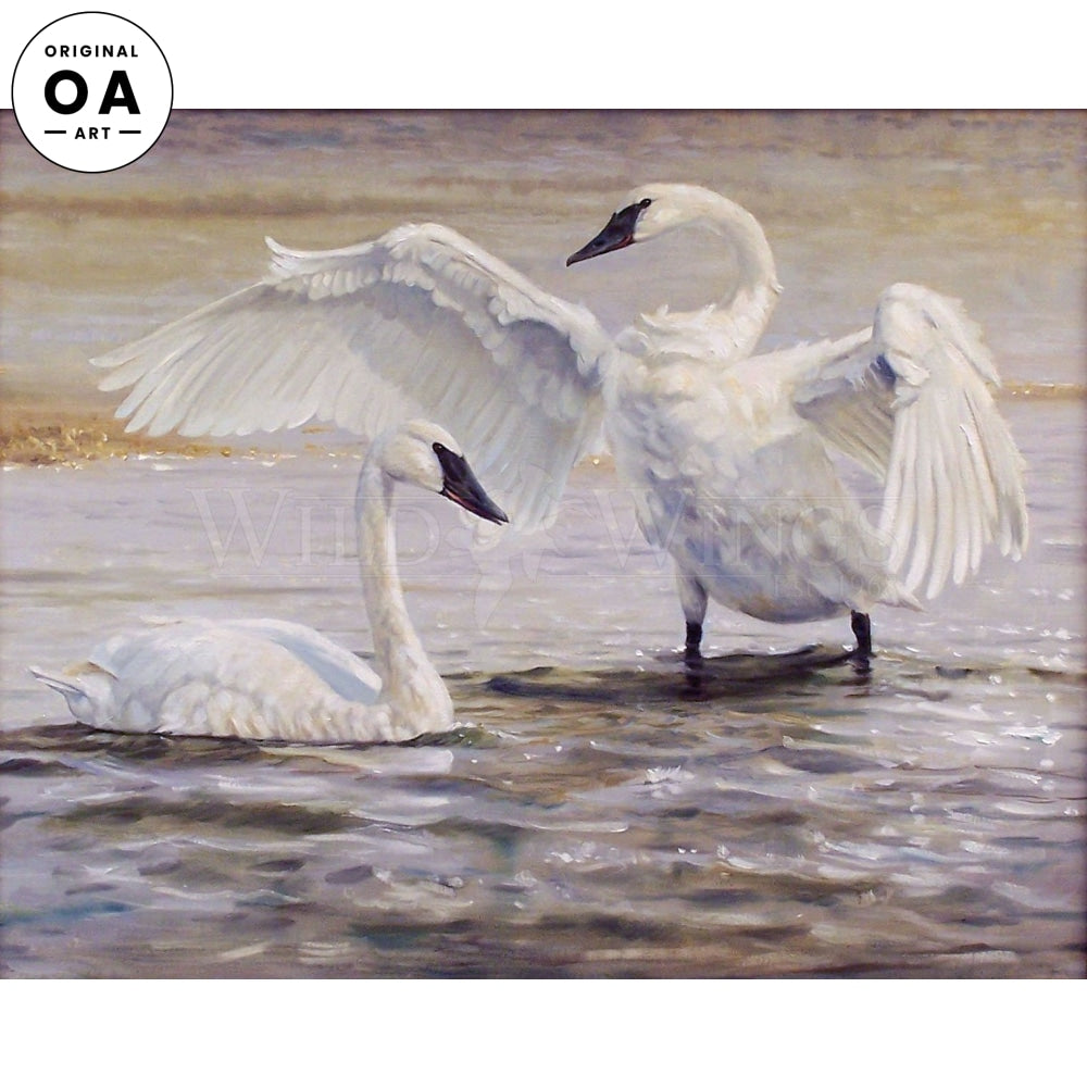 The Trumpets of Yellowstone—Trumpeter Swan.
