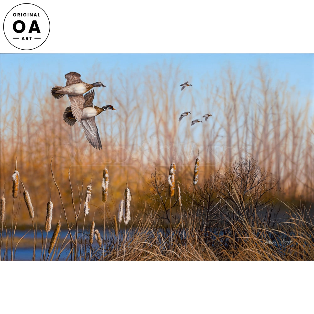 Return Among the Cattails—Wood Ducks.