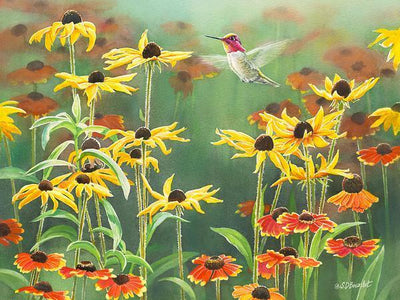 Anna's Hummingbird in Blackeyed Susans.