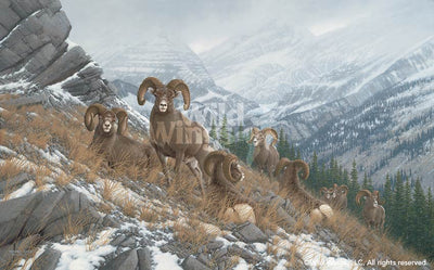 Glacier Kings Bighorn Sheep.