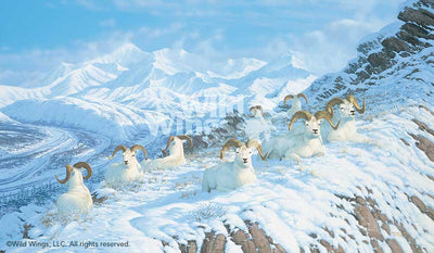 A Day in the Sun-Dall Sheep Art Collection
