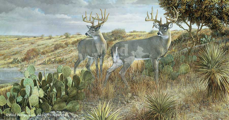 Cactus Country—Deer.