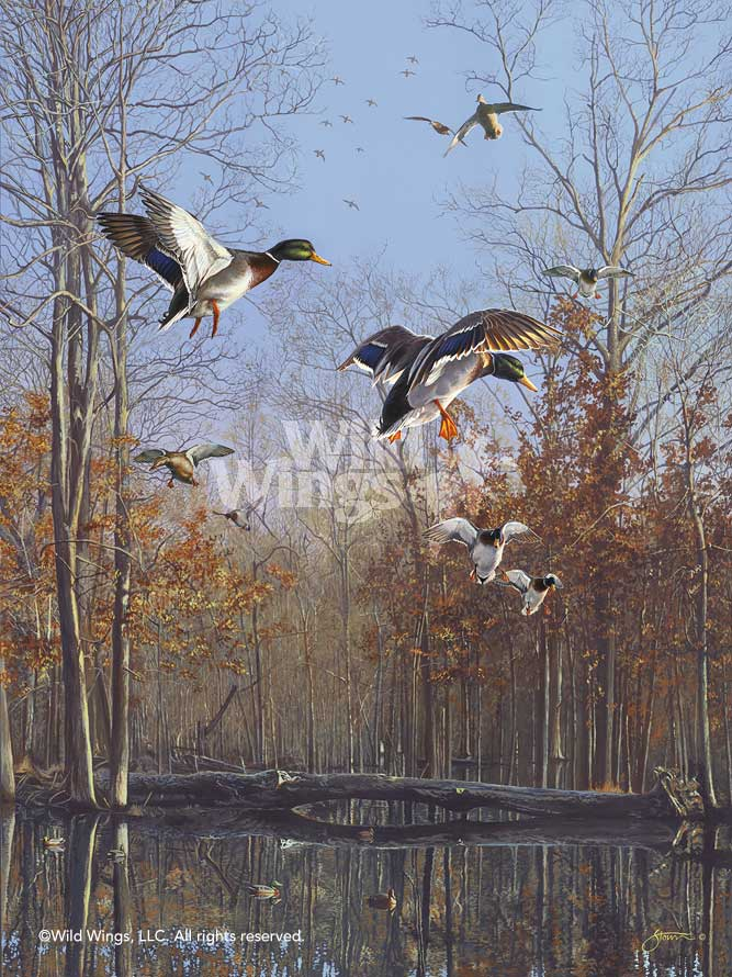 Green Timber—Mallards.