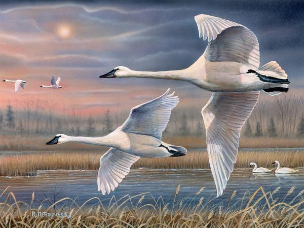 Evening Flight—Trumpeter Swans.