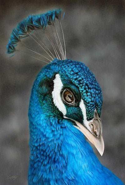 Feeling Blue—Peacock.