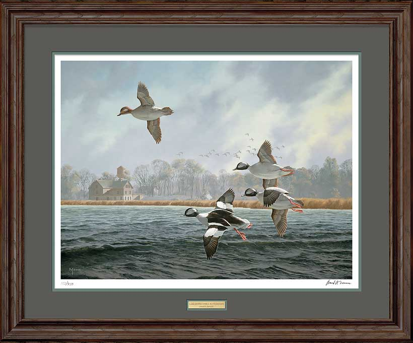 Lake Minnetonka-Buffleheads Art Collection