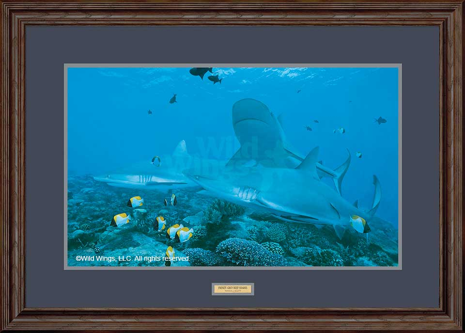 Frenzy-Grey Reef Sharks Art Collection