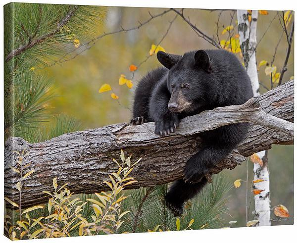 <I>Hanging Out&mdash;black Bear</i> Gallery Wrapped Canvas