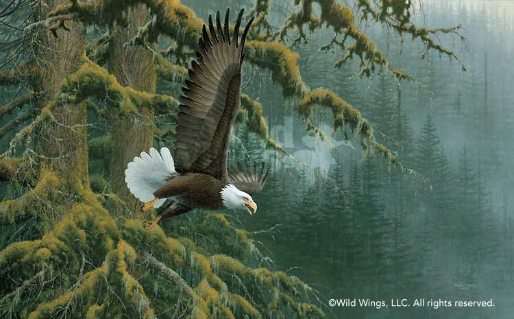 Misty Forest-Bald Eagle Art Collection