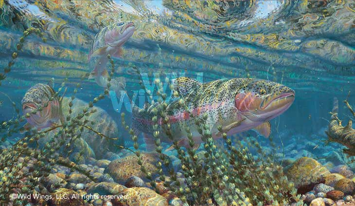 Matching the Hatch-Rainbow Trout Art Collection