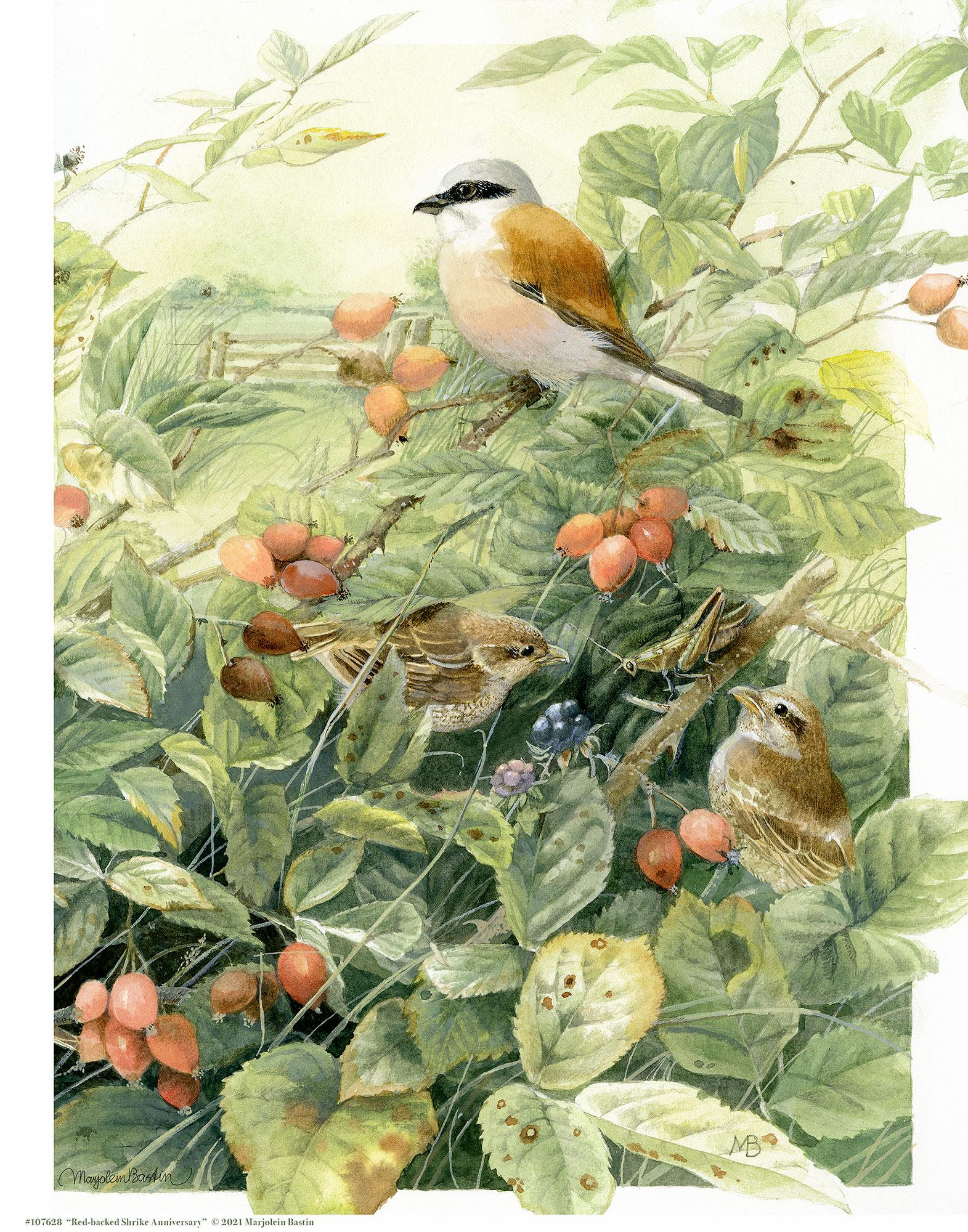 Red-backed Shrike Anniversary Art Collection