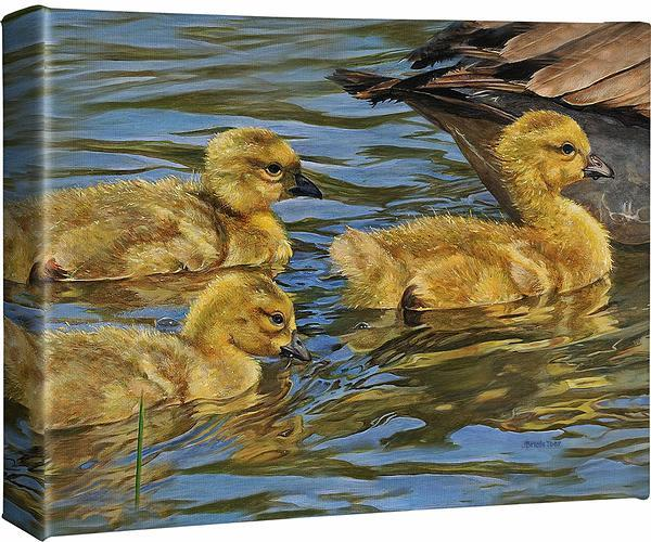 Safe Swim—Goslings.