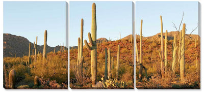 Saguaro Evening Light.