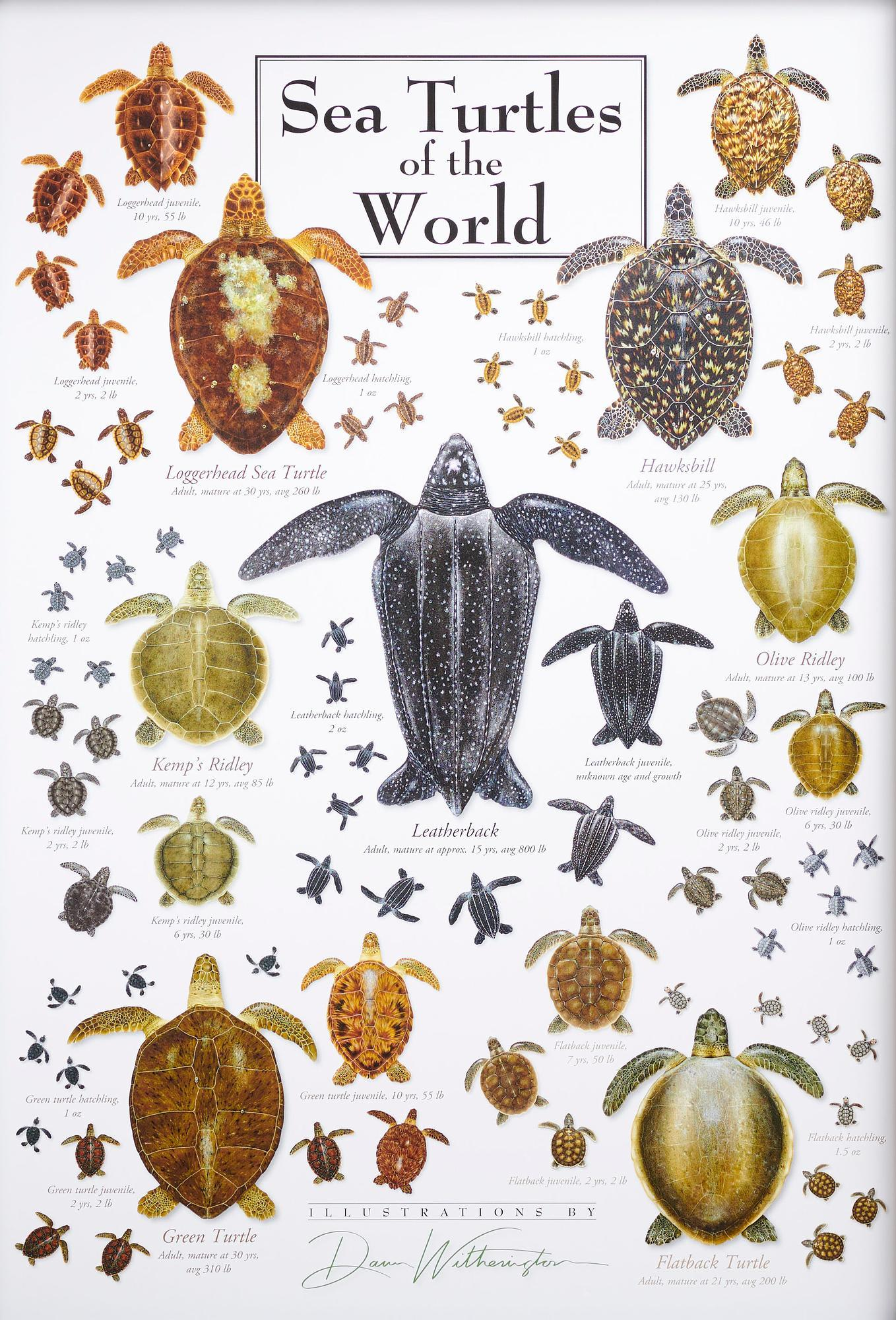 Sea Turtles of the World Art Collection