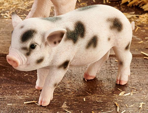 Standing Baby Spotted Pig.