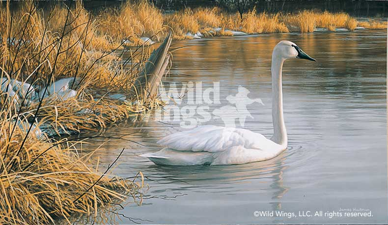 Spring Thaw-Trumpeter Swan Art Collection