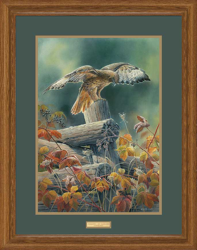 Touchdown-Red-tailed Hawk Art Collection