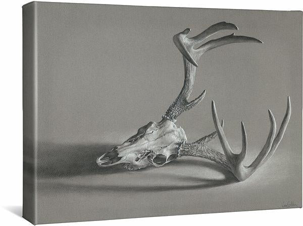 Whitetail Deer Skull.