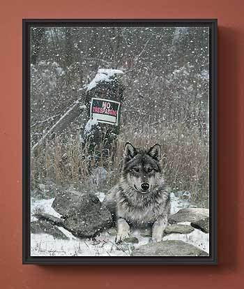 No Tresspassing—Wolf.