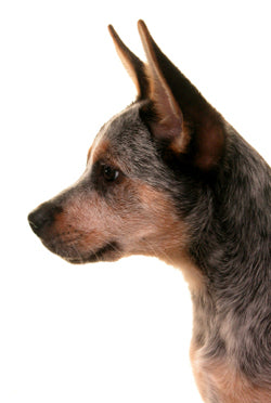 Australian Cattle Dog - Blue Heeler