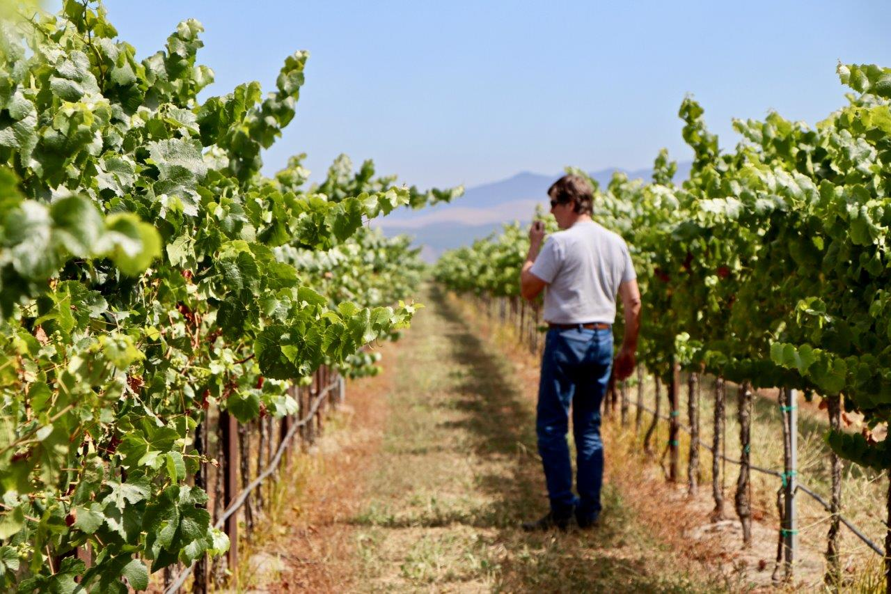Norm Walking the Vineyard tasting grapes
